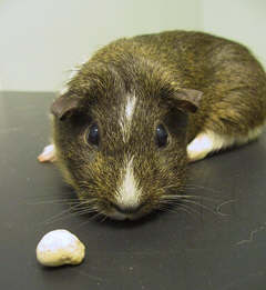 Guinea Pig with Urinary Tract Stone