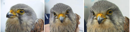 """Kes"" - Young Kestrel with a Broken Wing"