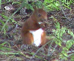 """Red"" - Red Squirrel. thoughts on Indigenous Wildlife"
