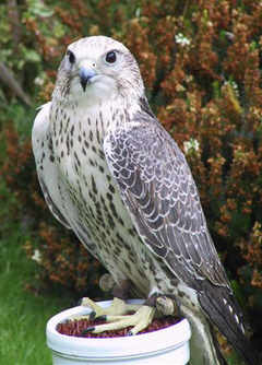 """Falcons"" - Export Health Checks on Hand Reared Birds"