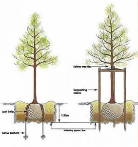 Staking a large tree FAQs